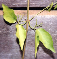 Landholders Encouraged To Target Cats Claw Creeper Vine